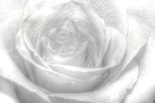 Canvas print - High Key Rose