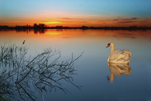 Canvas print - Swan on a lake