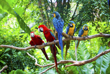 Wall mural - Red and Blue Macaw