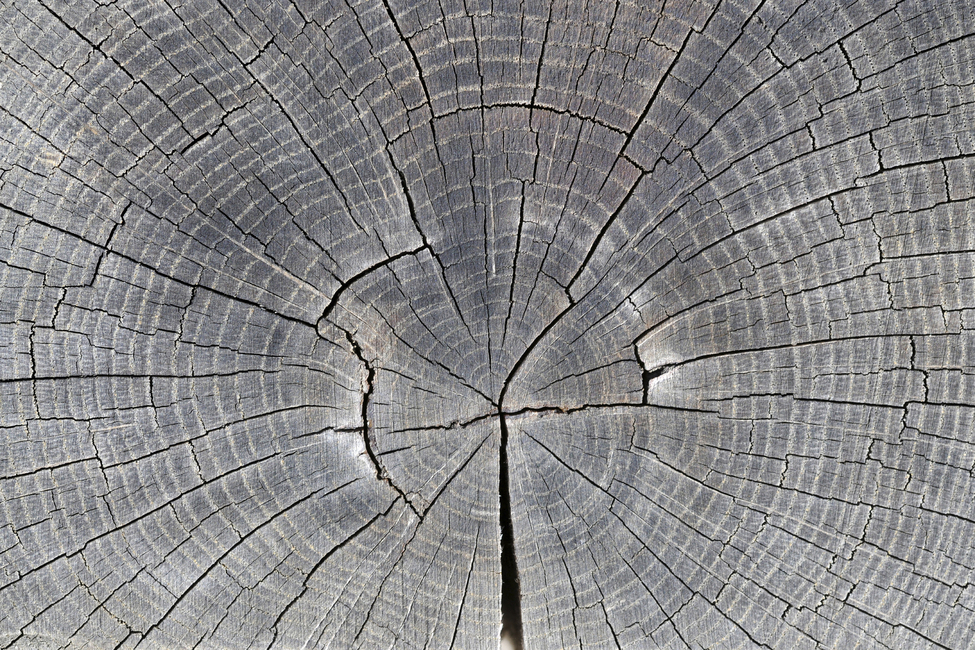 Tree Trunk Showing Growth Rings