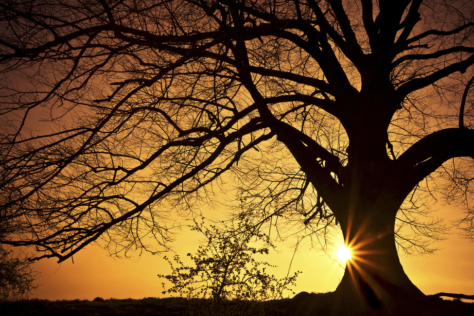 Silhouette of a Willow Tree in Sunset