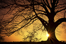 Fototapet - Silhouette of a Willow Tree in Sunset