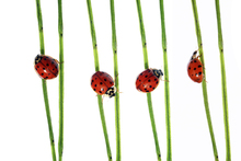 Canvas-taulu - Collection of Lady Bugs