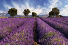 Mural de pared - Lavender Field in Provence