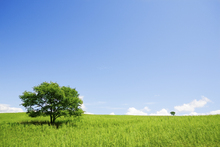 Fototapet - Two Trees in an Open Field