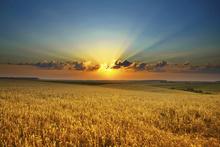Fototapet - Sunset over a Golden Field