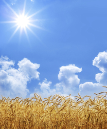 Fototapet - Gold Wheat