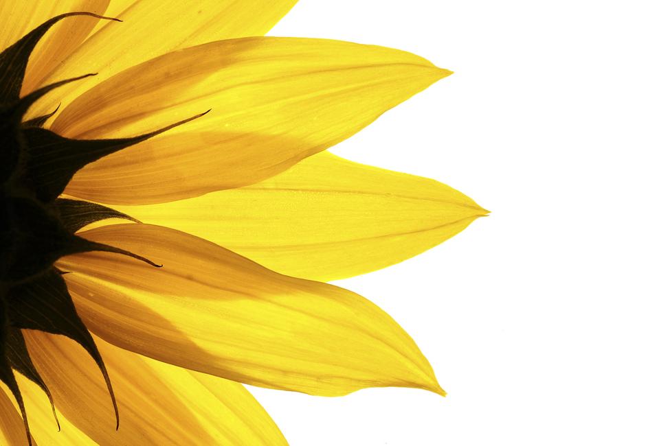 sunflower detail wall mural photo wallpaper photowall