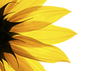 Canvas print - Sunflower Detail