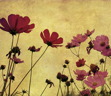 Canvas print - Old Fashioned Flower