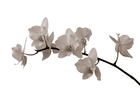 Canvas print - White Orchid Stem