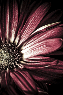 Canvas print - Dark Daisy