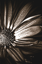 Canvas print - Dark Daisy - Sepia