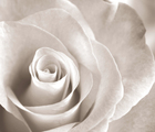 Canvas print - Soft Rose - Sepia