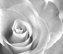 Fotobehang - Soft Rose - b/w