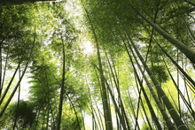 Canvas print - Mighty Bamboo