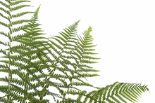 Canvas print - Ferns