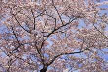 Fototapet - Blooming Cherry Tree