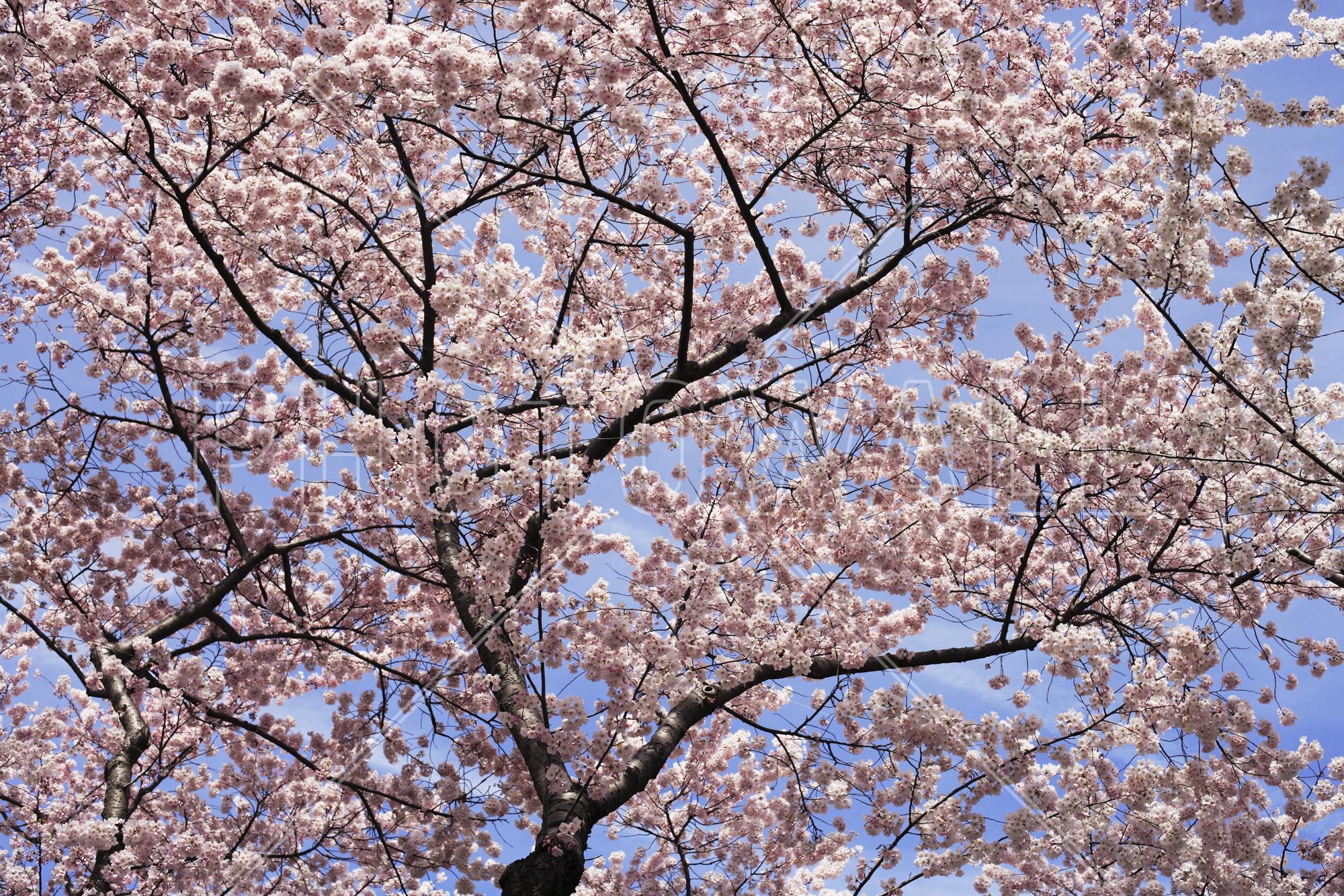 Wall Mural   Blooming Cherry Tree