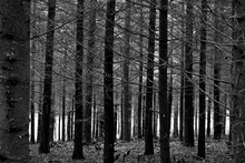 Canvas print - Blue Forest - b/w