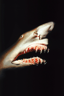 Canvas print - Shark