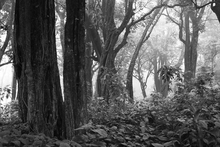Fototapet - Tropical Forest - b/w
