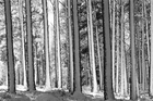 Canvas print - Winter Forest - b/w