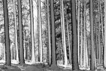 Lærredsprint - Winter Forest - b/w