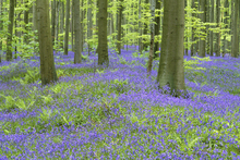 Canvasschilderij - Bluebells Wallpaper