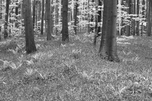 Canvas print - Bluebells Wood - b/w