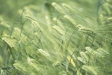 Fototapet - Barley Heads