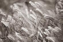 Fototapet - Barley Heads - Sepia