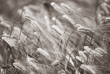 Canvas print - Barley Heads - Sepia