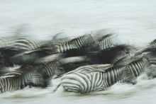 Canvas print - Zebras Running