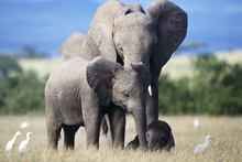 Canvas print - Elephant Family