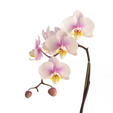 Fototapete - Pink Orchid Stem