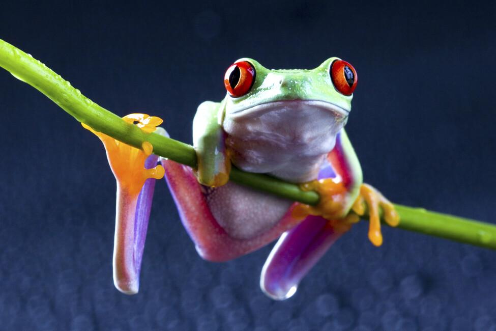 V Frog Kpm Red frog - Wall...