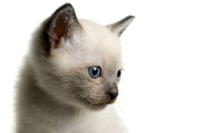 Canvas print - Blue Eyed Kitten