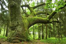 Fototapet - Mighty Oak