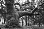 Canvas print - Mighty Oak - b/w