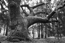 Fototapet - Mighty Oak - b/w