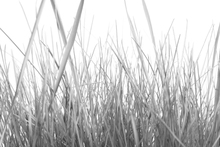 Wall mural - High Grass - b/w