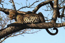 Wall mural - Leopard in Tree