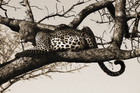 Mural de pared - Leopard in Tree