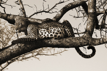 Fototapete - Leopard in Tree
