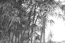 Canvastavla - Beautiful Bamboo