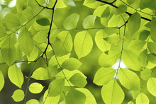 Wall mural - Yellow Wood Green Leaves