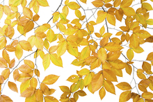 Wall mural - Yellow Leaves on White Background