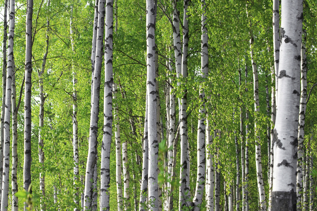 Spring birch forest wall mural photo wallpaper photowall for Birch forest wall mural