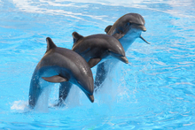 Canvas-taulu - Bottlenose Dolphins
